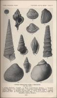 Fossils from the Tampa Limestone (Florida, circa 1929)